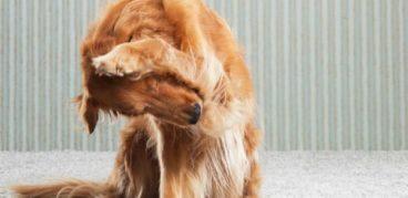 Как выводить блох у собак в домашних условиях