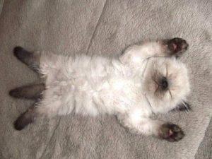 Що робити, якщо у кошеняти блохи