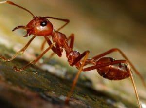 Как избавиться от красных муравьев