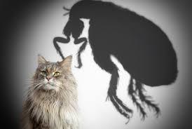 Чем отличаются земляные блохи от кошачьих