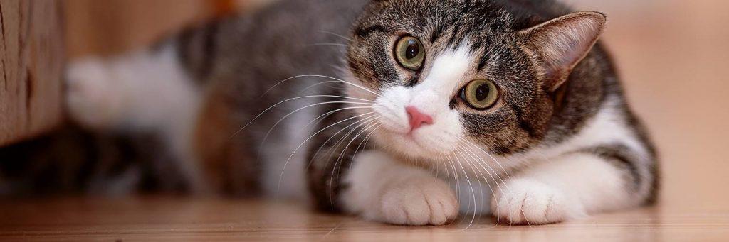 Вушні кліщі у кішок небезпечні для людини?