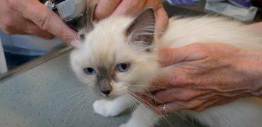 Ушной клещ у кошек лечение домашними средствами