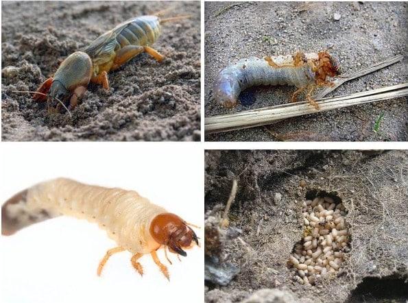 Як виглядає личинка капустянки