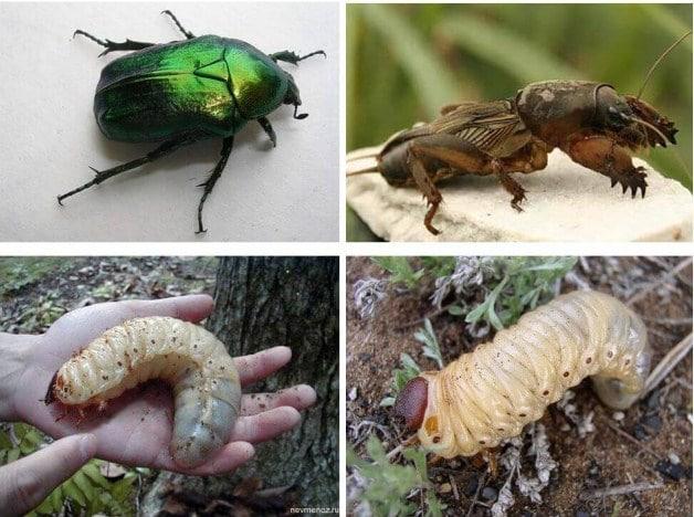 Личинка хруща і капустянки