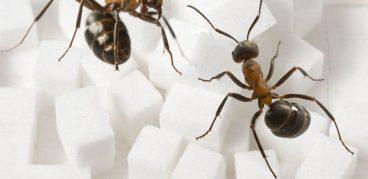 Как избавиться от сахарных муравьев домашними средствами?