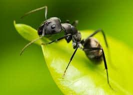 Почему появляются муравьи на участке?