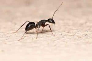 Где обитают муравьив квартире