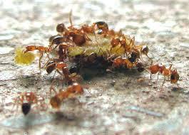 ак предотвратить нашествие сахарных муравьев или побороть эту проблему, если момент уже упущен?