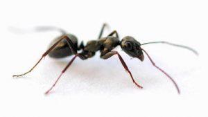Типичная реакция организма на укусы муравьев