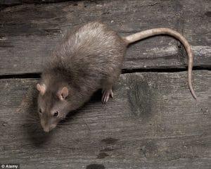 Звідки з'являються миші в квартирі?