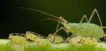 Нашатырный спирт от тли и муравьев