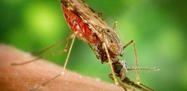 Малярийный комар: Как отличить, фото