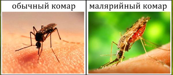 Как отличить малярийного комара от обычного?