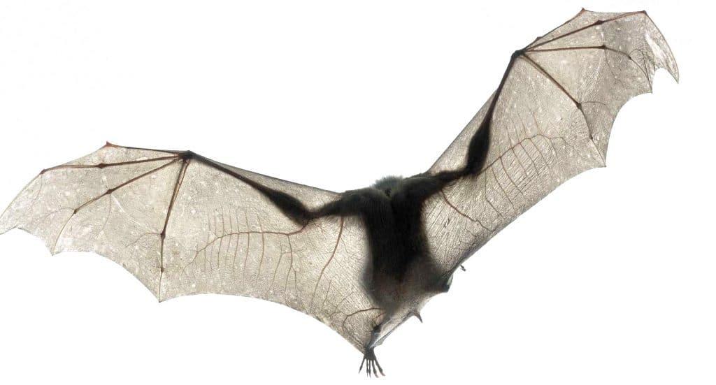 Чем опасна летучая мышь для человека