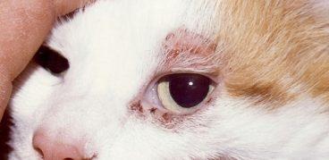 Подкожный клещ у кошек: Лечение в домашних условиях, причиныпоявления