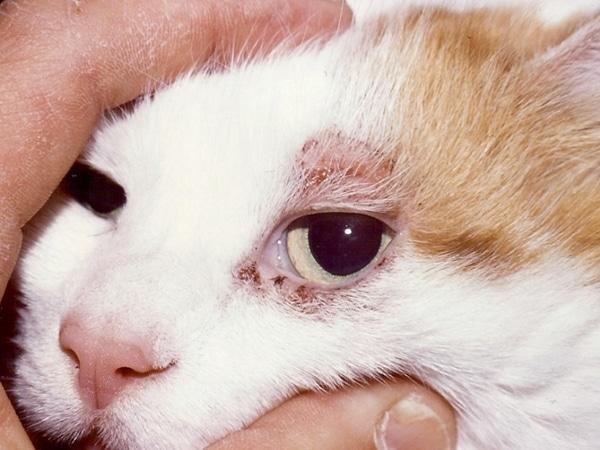 Подкожный клещ у кошек – виды, диагностика, лечение