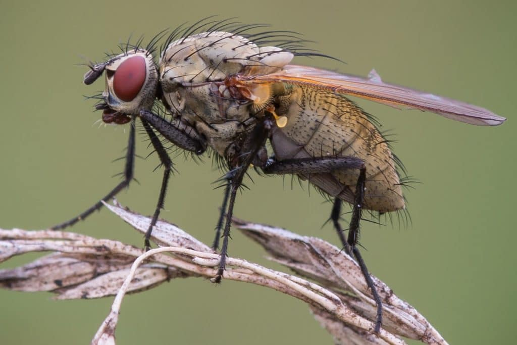 Борьба с луковой мухой народными средствами