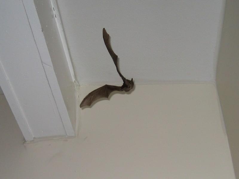 Как избавиться от летучих мышей в квартире