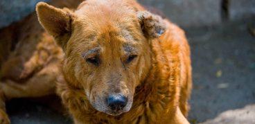 Подкожный клещ у собак, симптомы и лечение