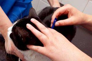 Как обрабатывать кошку от блох каплями