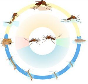 Цикл жизникомара