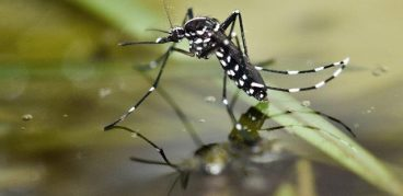 Как размножаются комары