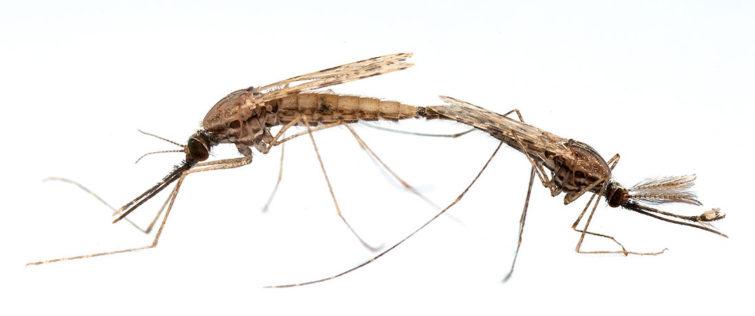 Сколько и как размножаются комары